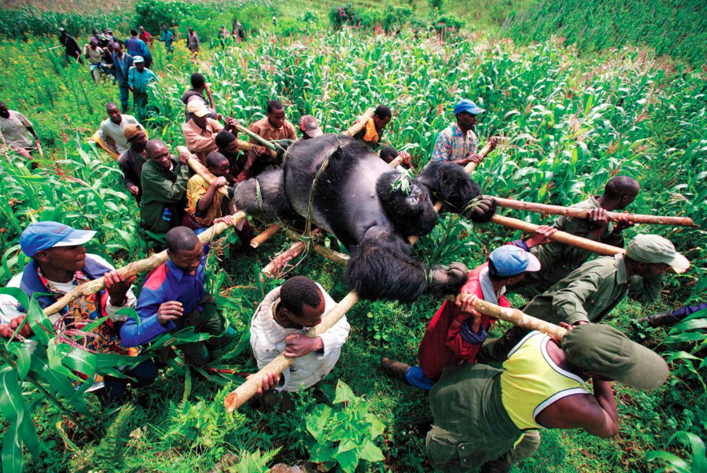 zilverrug gorilla-meest icnonische foto's-MAN MAN