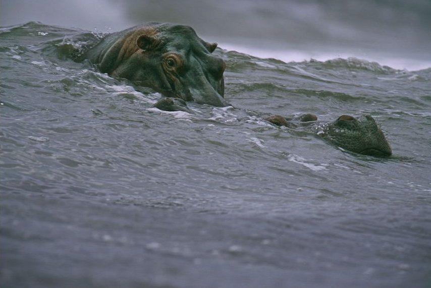 surfing hippos-meest iconische foto's-MAN MAN