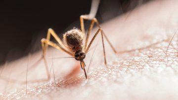 Mensen die veel alcohol drinken worden vaker gebeten door muggen